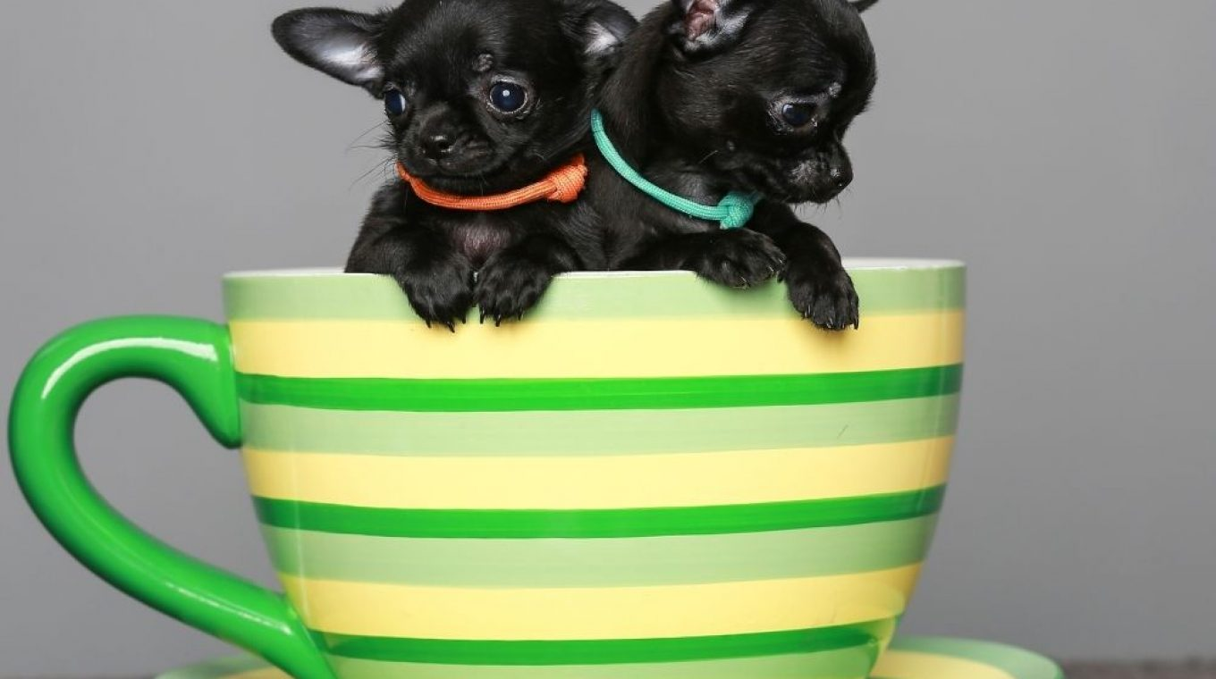 breed teacup dogs